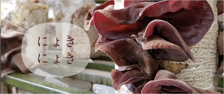 きくらげ栽培キット きくらげの菌床からきくらげがニョキニョキ生える様子