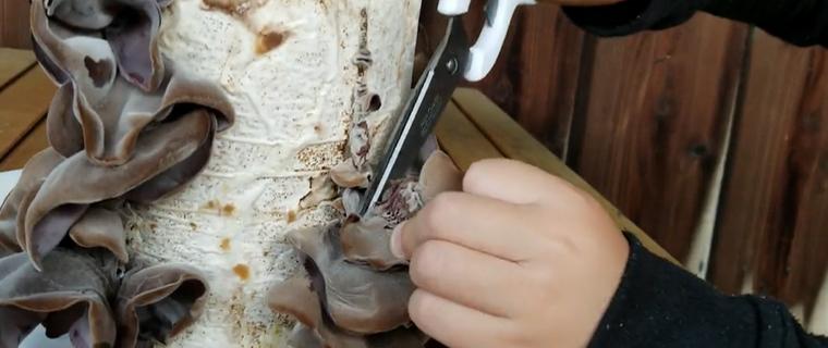 きくらげの収穫ははさみやカッターナイフなどで行います