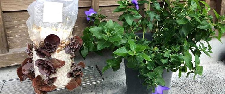 緑と軒下のきくらげ栽培キット