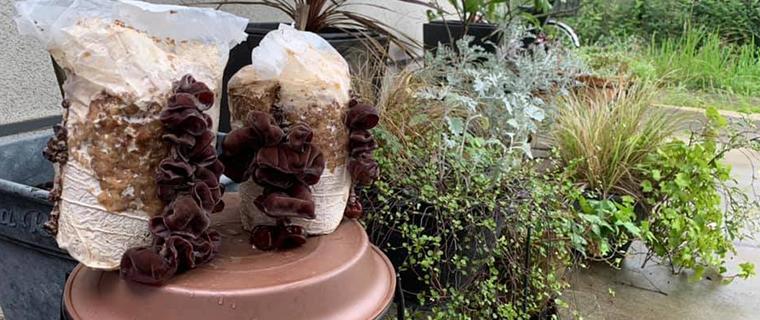 きくらげ栽培ブロックは、日陰や湿気の多い場所でよく育ちます