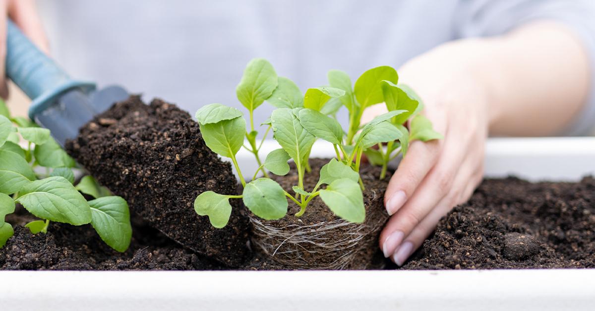 苗を鉢に植えている様子 ガーデニング 家庭菜園